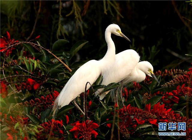 領略生物多樣性之美|雲南臨滄玉龍湖畔白鷺飛