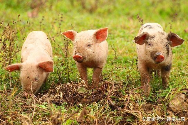 """十二生肖猪年到!关于""""猪""""的这些文化你知道吗?"""