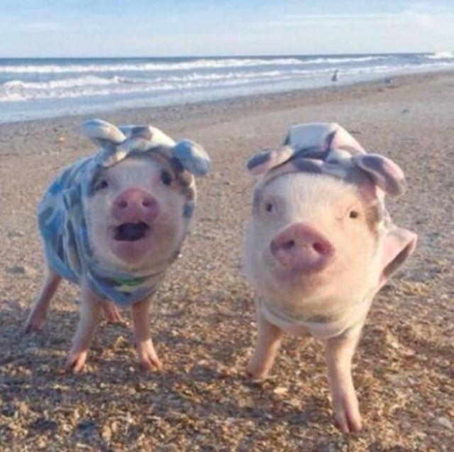 奇葩男子网购小香猪饲养,不久小香猪变成了拷乳猪
