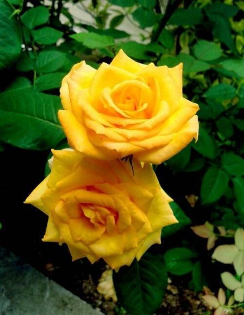 月季花什么季节最爱开花? 第3张