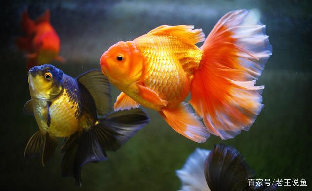 是什么原因造成金鱼折尾的?告诉你原因和解决方法
