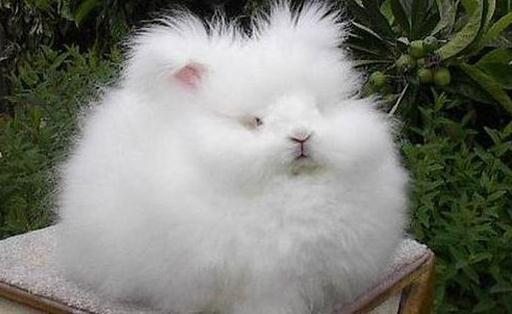 这种安哥拉兔深受法国皇室的喜爱