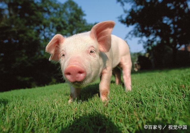 """十二生肖猪年到!关于""""猪""""的这些文化你知道吗? 第5张"""
