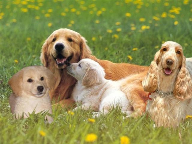 美国可卡犬你了解吗?养可卡犬是一种怎样的体验?