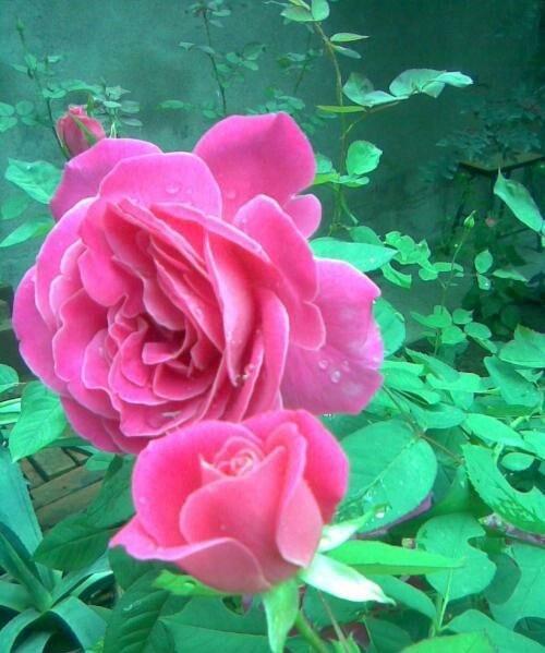 月季花什么季节最爱开花? 第2张