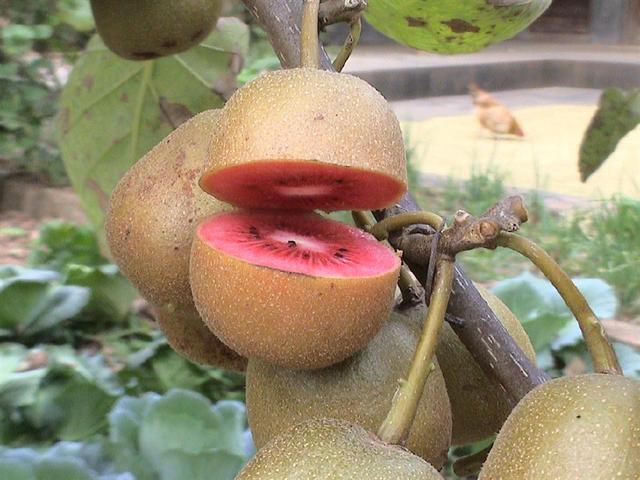 岐山猕猴桃-红心猕猴桃