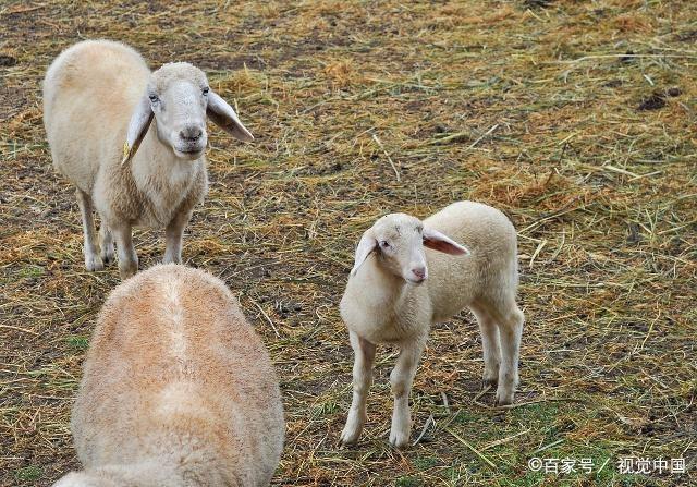 财源滚滚,福气登门,生肖羊必定收入大涨