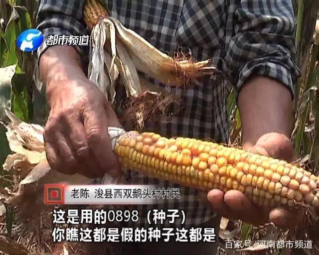 鹤壁上百农民:近万亩玉米大量减产!血汗钱没了就是假种子