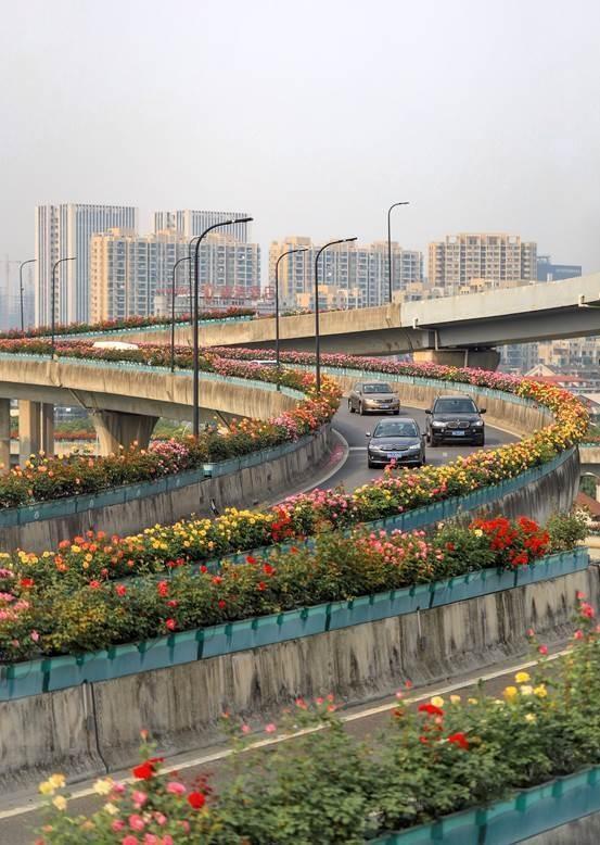 """杭州高架上安家近十年 """"网红""""月季今年开始大保养"""