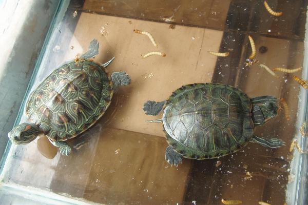乌龟怎么养才能生蛋