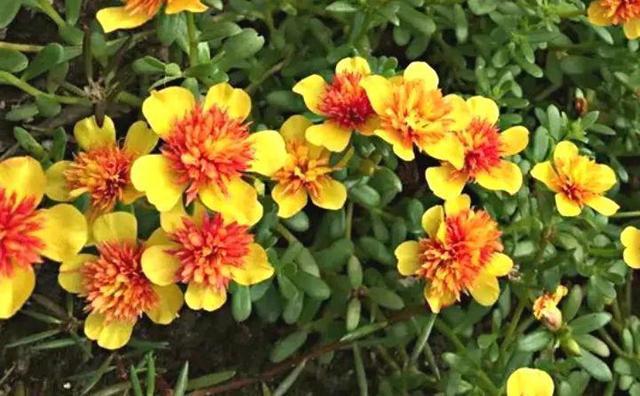 死不了花 种子带刺的植物图片