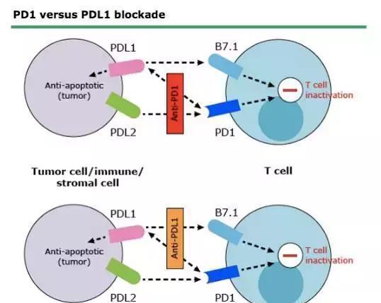 火爆的PD-1/PD-L1抑制剂