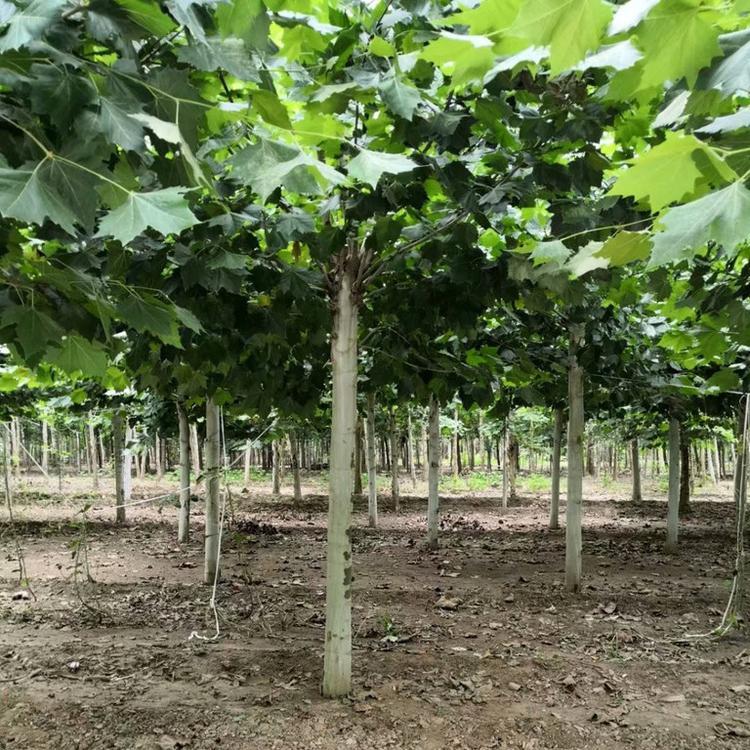 懸鈴木種植基地