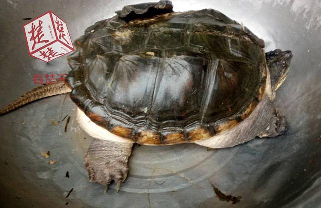 湖北现大鳄鱼龟 专家:莫放生,吃掉