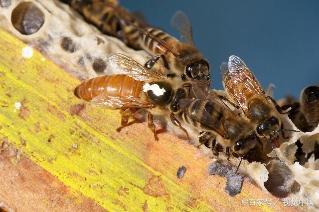 春季繁蜂,如何让蜂王批量交尾?有了它,想要多少交尾王都可以