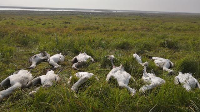 鄱阳湖16只白琵鹭同时死亡怎么回事?鄱阳湖16只白琵鹭死因是什么