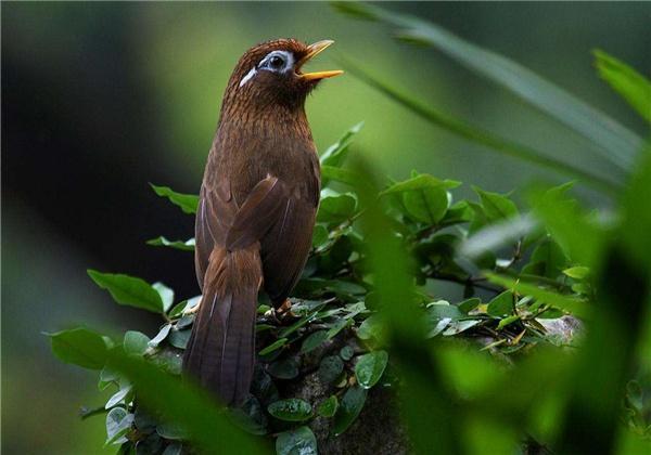 宠物小知识:画眉鸟训练的小技巧!