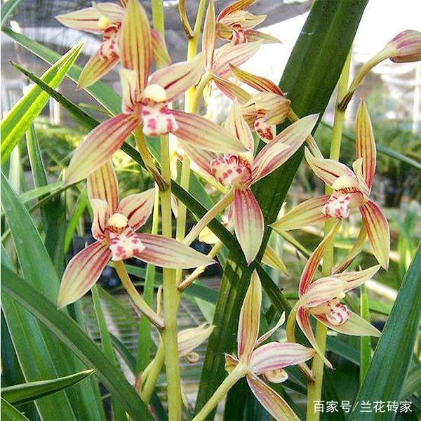 被譽為「蘭花中的乖寶寶」,擁有金邊線藝,香味濃郁,養護簡單