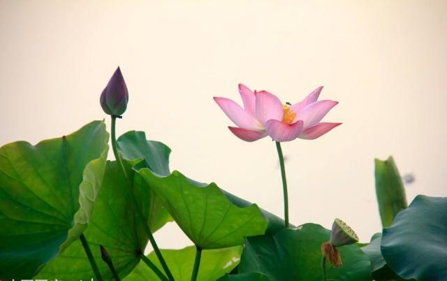 纯洁、高尚的莲花,你知道多少呢?有关莲花的知识都在这里