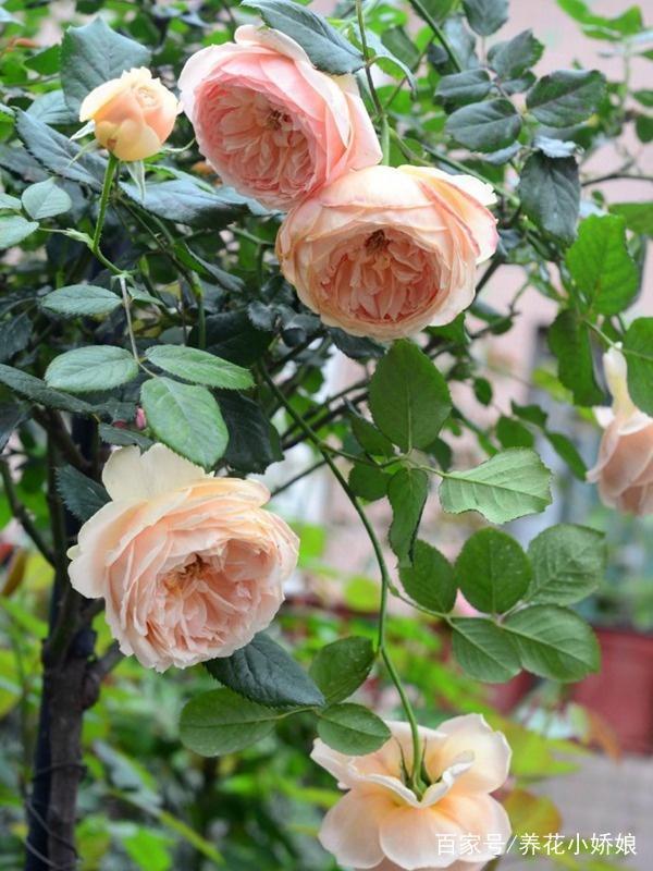 可以多季节重复开花的灌木月季,推荐给大家 第2张