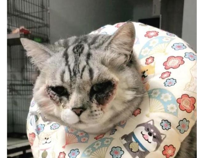 惊呆了!万元给猫割双眼皮具体是什么情况?还原事发详情始末