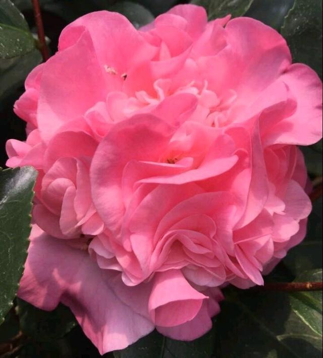 茶花的养护方法|月季栽培种植-南阳天润月季有限公司