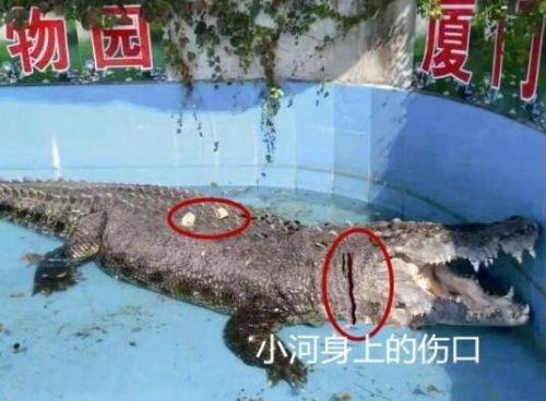 游客砸伤亚洲鳄鱼是怎么回事?背后原因是什么?