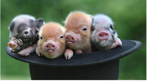 越南大肚猪