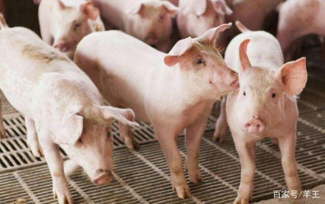 猪价持续回暖,养猪户期望的出栏时间现在是否合适?