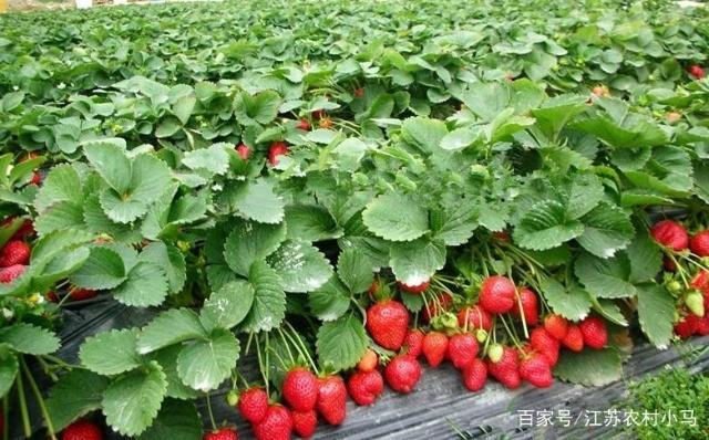 自己在家種點草莓吧,掌握這些種植經驗,天天都吃新鮮的!