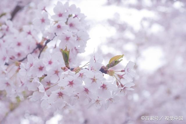 描写樱花的诗句,你知道多少呢?