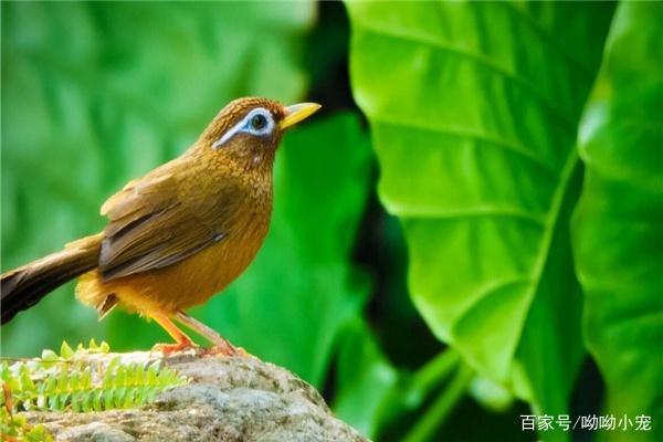 养护画眉鸟需要注意的事项