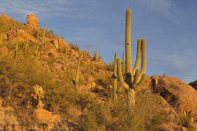 千歲蘭:地表最頑強植物,無水沙漠中生存2000年,被稱為沙漠章魚