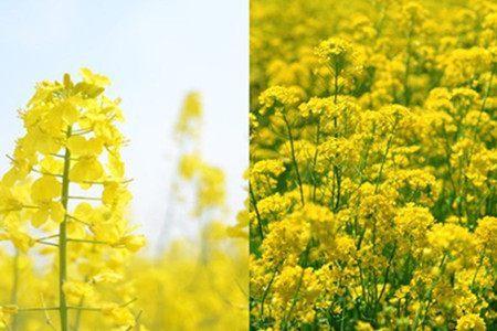 关于花的资料 关于菊花的知识有哪些